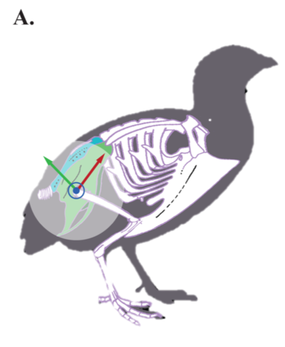 Potential for elastic soft tissue deformation and mechanosensory function within the lumbosacral spinal canal of birds